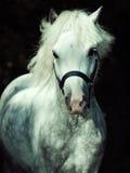 Porträt des Betriebs grauen Waliser-Ponys am dunklen Hintergrund Lizenzfreies Stockfoto