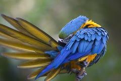 Porträt des blau-und-gelben Keilschwanzsittichs (Aronstäbe ararauna) Stockfoto
