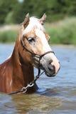 Porträt des blonden haflinger im Wasser Lizenzfreie Stockfotos
