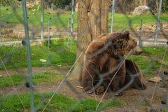 Porträt des Braunbären schloss in den Zookäfig zu stockfoto
