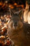 Porträt des braunen Capybara im Herbst Lizenzfreies Stockfoto