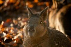 Porträt des braunen Capybara im Herbst Lizenzfreies Stockbild