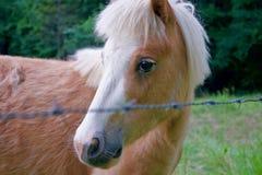 Porträt des Brown-Miniatur-Pferds lizenzfreie stockfotos