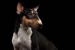 Porträt des Bullterriers auf lokalisiertem schwarzem Hintergrund stockbilder