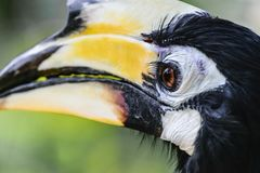 Porträt des bunten großen Hornbillvogels im grünen Laubhintergrund lizenzfreies stockbild