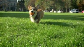 Porträt des corgy Hundes laufend mit Bällchen zur Kamera auf grünem Parkhintergrund stock video