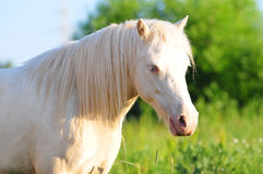 Porträt des cremello Waliser-Ponystutenfohlens Stockfoto