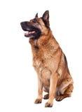 Schäferhund Stockbilder