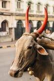 Porträt des domestizierten Büffels mit roten Hörnern auf den Straßen O lizenzfreies stockbild