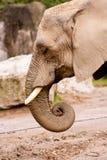 Porträt des Elefanten Stockfotos