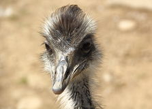 Porträt des Emus - Dromaius Lizenzfreies Stockfoto