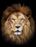 Porträt des enormen schönen männlichen afrikanischen Löwes gegen schwarzes backg Stockfotos
