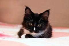 Porträt des entzückenden langhaarigen Schwarzweiss-Kätzchens, das auf einem Bett liegt lizenzfreies stockbild