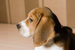 Porträt des ernsten und schönen Spürhundhundes stockfotos