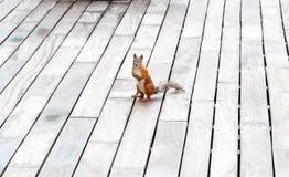 Porträt des eurasischen Eichhörnchens vor einem hölzernen Hintergrund Stockfotos