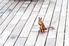 Porträt des eurasischen Eichhörnchens vor einem hölzernen Hintergrund Stockbild