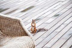 Porträt des eurasischen Eichhörnchens vor einem hölzernen Hintergrund lizenzfreies stockfoto