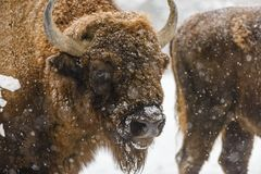 Porträt des europäischen Bisons während des Winters auf Schnee Stockfotos