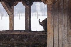 Porträt des europäischen Bisons während des Winters auf Schnee Lizenzfreie Stockfotografie