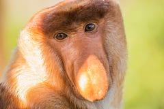 Porträt des fabelhaften langnasigen Affen Stockfotografie