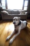 Porträt des Familienhundes Lizenzfreie Stockfotografie