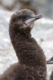 Porträt des flaumigen Kükens des blauäugigen antarktischen Kormorans Stockbild