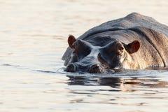 Porträt des Flusspferd-Nilpferd-Nilpferds Lizenzfreie Stockfotografie