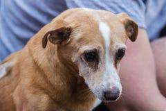 Porträt des gealterten Hundes Tierpflege des Konzeptes Lizenzfreies Stockfoto