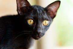 Porträt des Gesichtes der schwarzen Katze Lizenzfreies Stockfoto