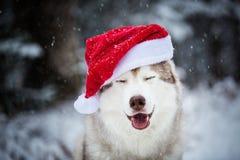 Porträt des glücklichen Hundes des sibirischen Huskys mit den geschlossenen Augen, die Weihnachtsmann-Hut im Winterwald auf Schne stockfotografie