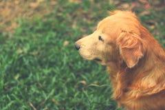Porträt des golden retriever-Hundes im Garten Stockfotografie