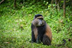Porträt des goldenen Affen Stockbilder