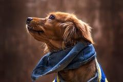 Porträt des goldenen Welpen Welpe mit Schalbaumwollstoff Stockfotografie
