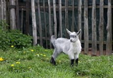 Porträt des grauen flaumigen Kindes einer Ziege stockbild