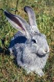 Porträt des grauen Kaninchens lizenzfreies stockfoto