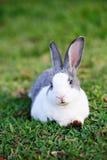 Porträt des grauen Kaninchens Lizenzfreie Stockfotografie