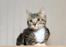 Porträt des grauen und schwarzen gestreiften Kätzchens der getigerten Katze Lizenzfreie Stockfotografie
