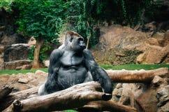 Porträt des großen schwarzen Gorillas, Spanien stockfoto