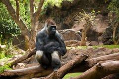 Porträt des großen, schwarzen Gorillas am Zoo auf dem braun-grünen Hintergrund, im Freien in Loro-Park, Teneriffa Lizenzfreies Stockbild