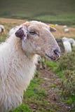 Porträt des Hauptgesichtes der Schafe in irati Bergen, baskisches Land, Frankreich Lizenzfreie Stockfotografie
