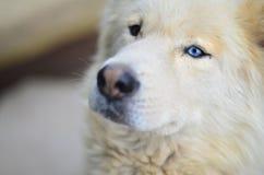 Porträt des heiseren Hundes des weißen sibirischen Samoyed mit Heterochromia ein Phänomen, wenn die Augen verschiedene Farben im  stockfotografie