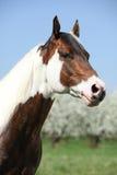 Porträt des herrlichen Farbenpferdehengstes im Frühjahr lizenzfreie stockfotos