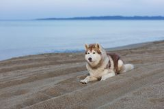 Porträt des herrlichen Hundes des sibirischen Huskys, der auf Seefront bei Sonnenuntergang liegt lizenzfreie stockbilder