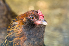 Porträt des Huhns Hen Farm Animal Stockbilder