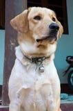 Porträt des Hundes Lizenzfreies Stockbild