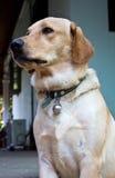 Porträt des Hundes Lizenzfreie Stockbilder