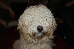 Porträt des Hundes Lizenzfreie Stockfotos