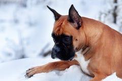Porträt des Hundes auf Hintergrund von Weihnachtsbäumen Lizenzfreie Stockbilder