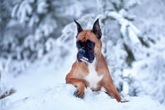 Porträt des Hundes auf Hintergrund von Weihnachtsbäumen Lizenzfreies Stockfoto