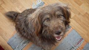Porträt des Hundes bitten um Lebensmittel Lizenzfreies Stockfoto